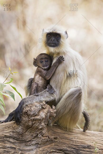 India, Madhya Pradesh, Langur at Bandhavgarh National Park