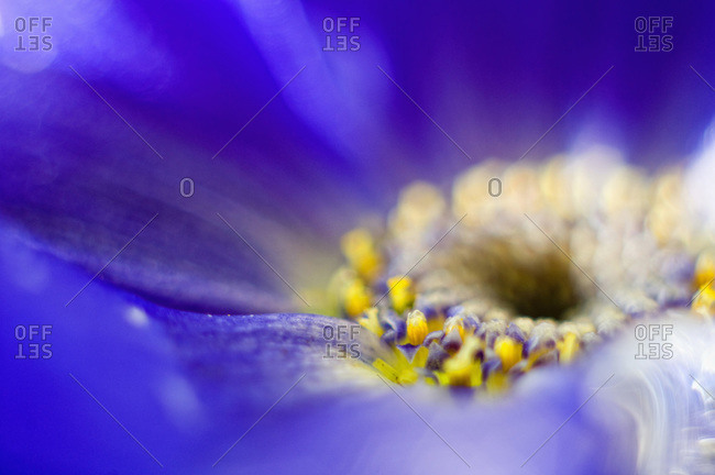 Germany, African Daisy flower (Osteospermum), extreme close-up