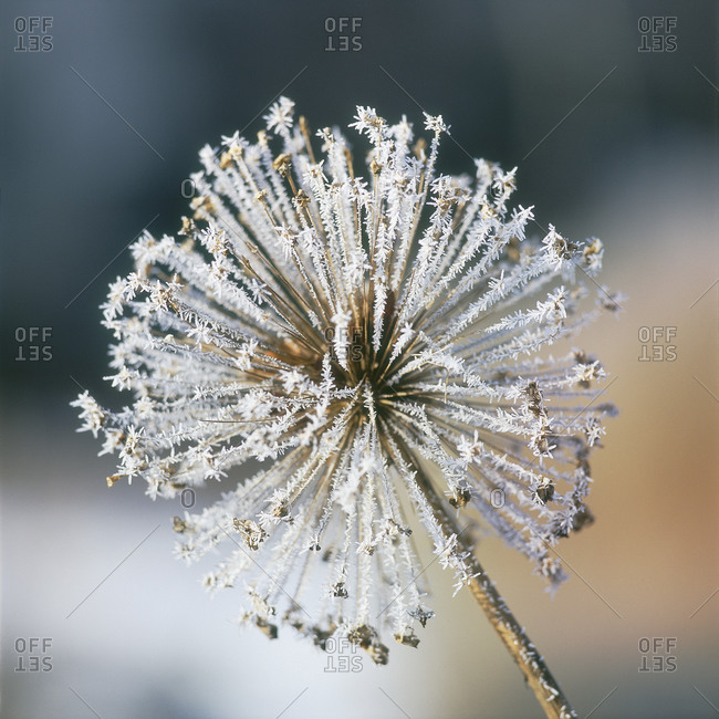 Close-up of hoarfrost inflorescence flower