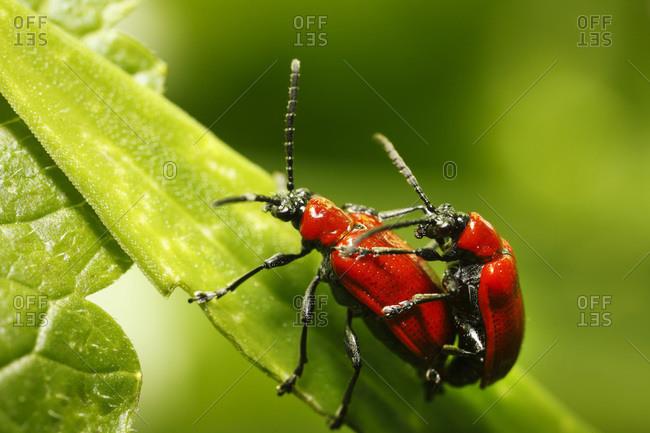 Germany, Bavaria, View of beetles on leaf