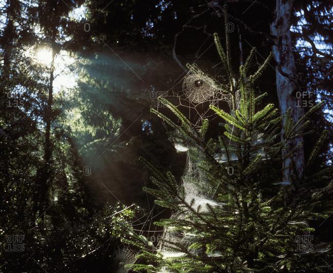 Germany, Bavaria, Geretsried, Spider web on fir tree