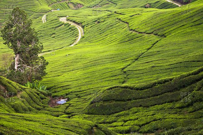Malaysia, View of tea plantation region