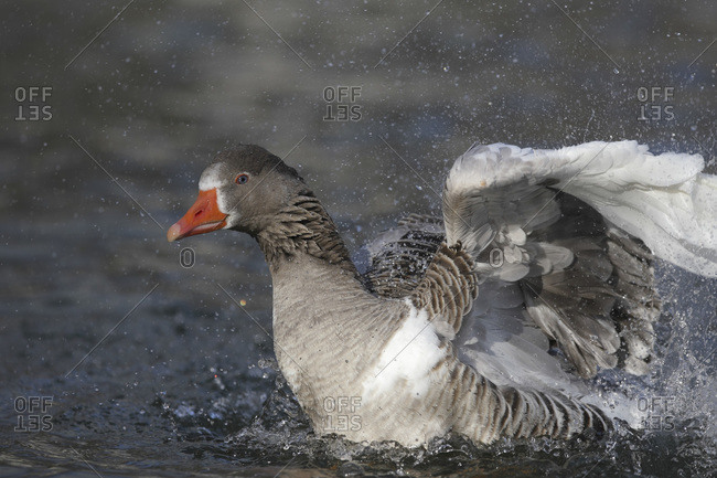 Germany, Munich, Close up of greylag goose swimming in water