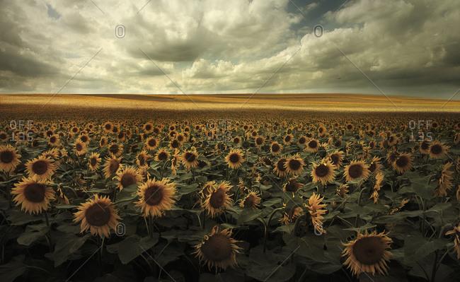 Germany, View of sunflower field near Dresden