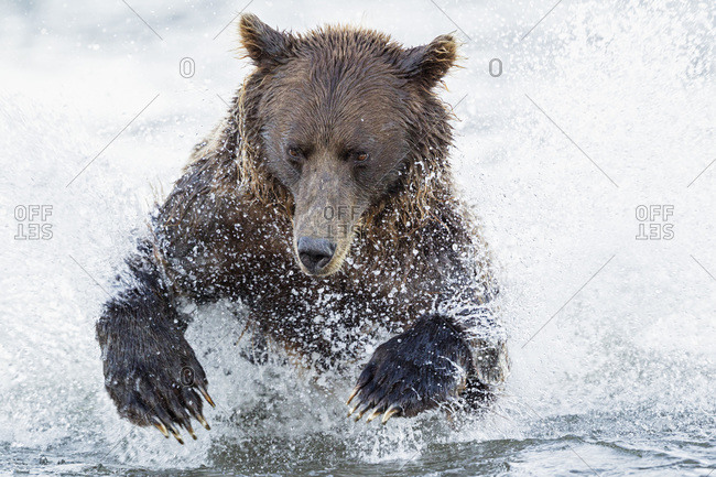 USA, Alaska, Brown bear is trying to catch salmon in Silver salmon creek at Lake Clark National Park and Preserve