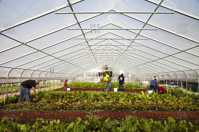 Employees tend to crops inside a large greenhouse at an urban farm in Chicago Illinois