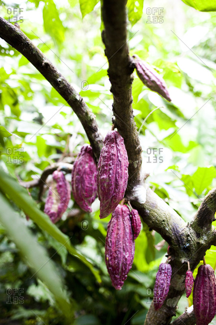 Large cacao pods hang from trees in one of the world's most productive cacao growing regions in chuao, venezuela