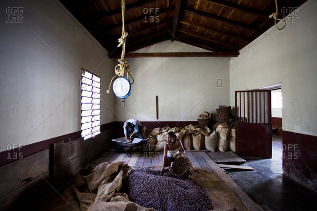 A cacao worker  works in a warehouse with piles of cacao beans in the small, remote village of chuao, venezuela