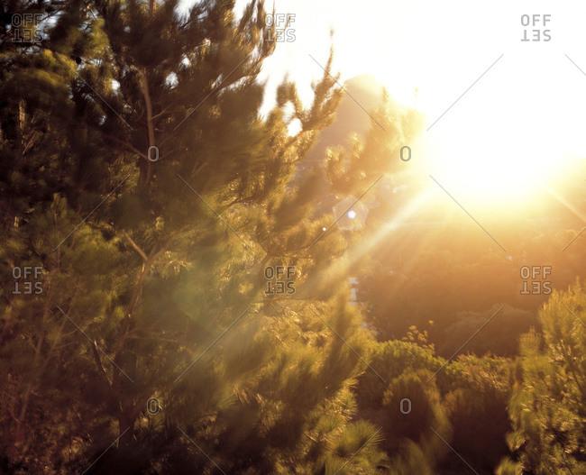 Sun beams over pine trees