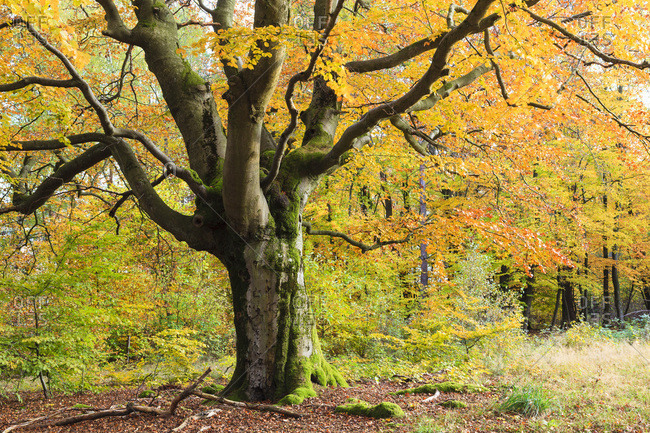 Beech Tree in Autumn, Kellerwald-Edersee National Park, Hesse, Germany