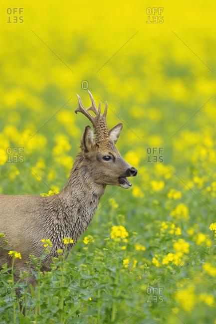 European Roebuck in Canola Field, Hesse, Germany
