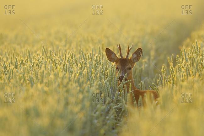 European Roebuck in Field, Hesse, Germany
