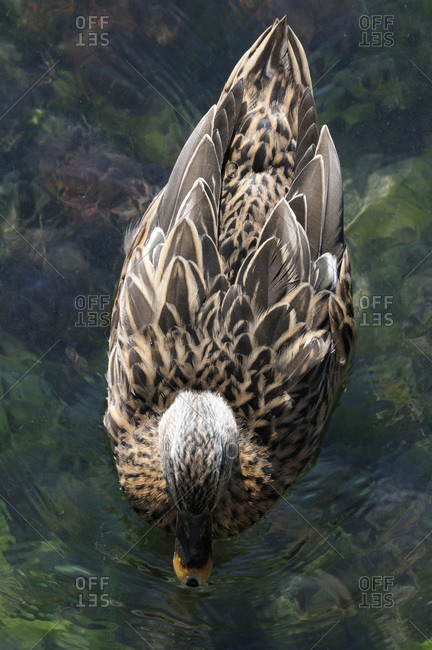 Overhead View of Duck on Water, Herault, France
