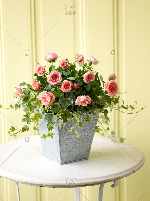 Close up of beautiful roses in flowerpot