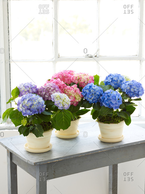 Blue and pink hydrangea in flowerpot