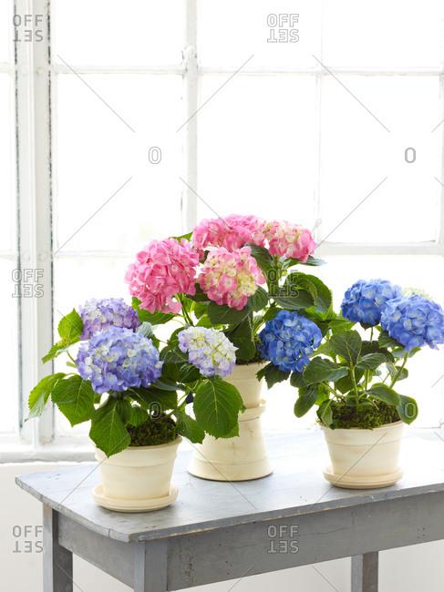 Blue and pink hydrangea in flowerpot