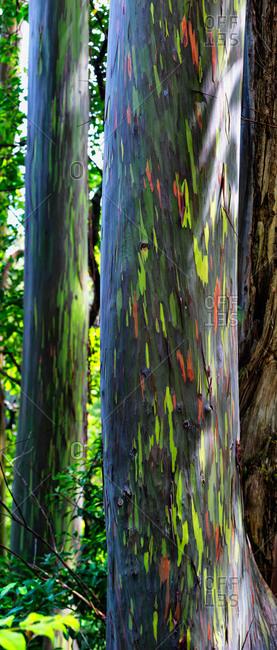 Rainbow eucalyptus trees in Maui, Hawaii