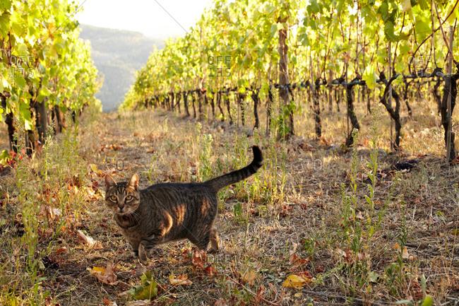 A cat wanders through a vineyard