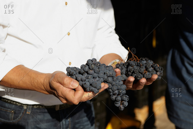 Man holding red grapes in his hands outdoors