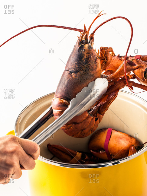 Demonstration of cooked lobster above the pot