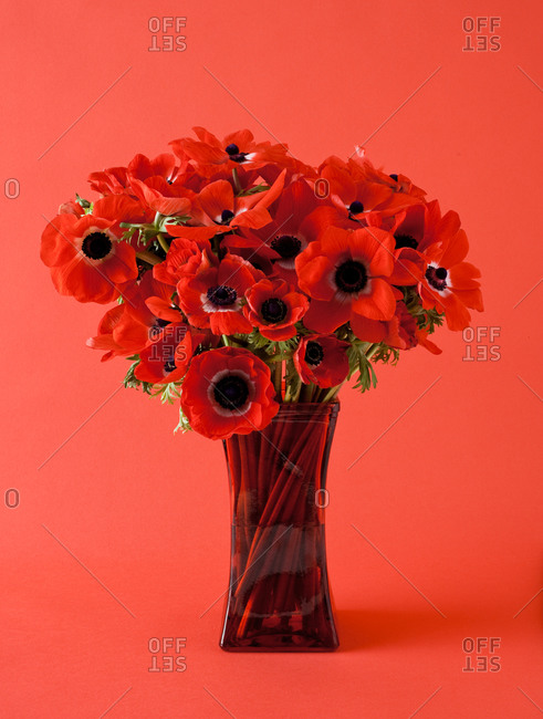 Red poppy bouquet on red background