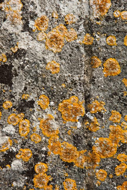 Crustose lichens on rock - Offset