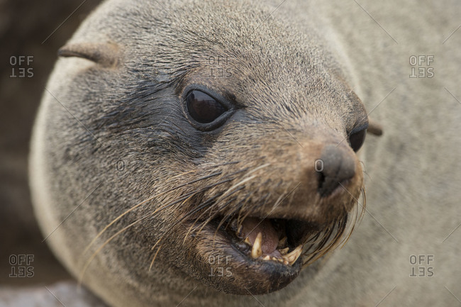 Close-up of Cape Fur Seal, Namibia