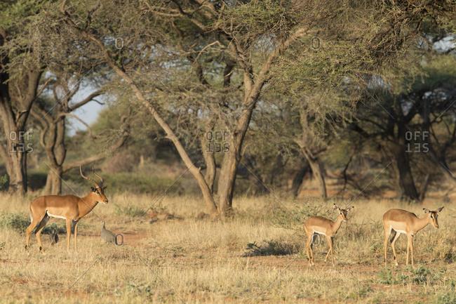 Impalas in Namibia