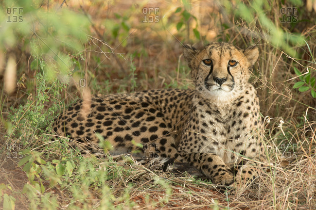 Cheetah hiding in the grass