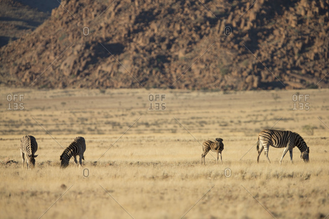 Group of zebras grazing in grassland, Namibia