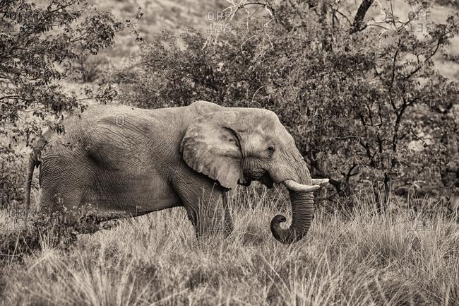 African Elephant feeding on a bush in Namibia