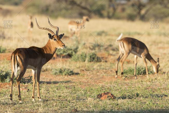 Impalas grazing in grassland
