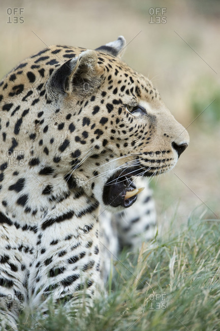 Profile of leopard in Namibia