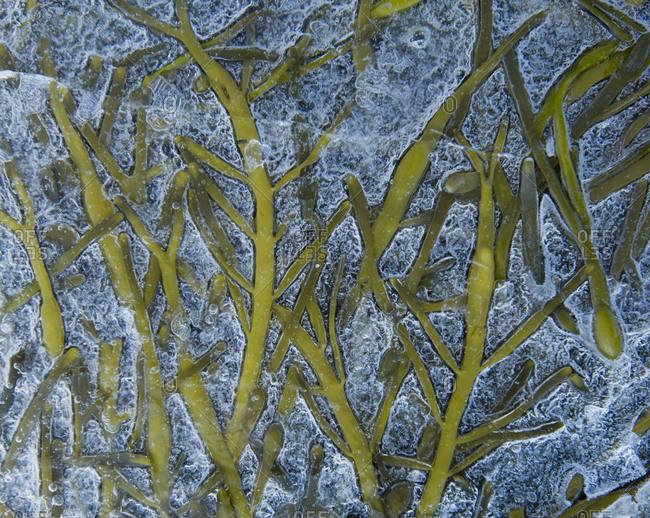 Seaweed underneath frozen water in Peggys Cove, Nova Scotia, Canada