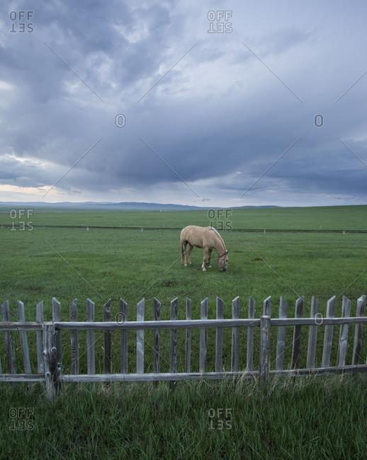 Horse grazing in field in Mongolia
