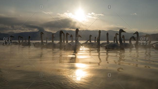 Whooper Swans on lake in island Hokkaido, Japan.