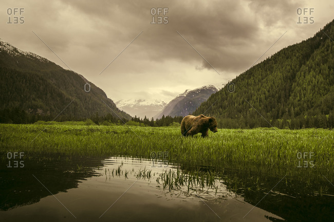 Brown bear standing in the grass of Khutzeymateen Inlet, Northern British Columbia, Canada.