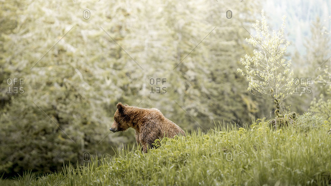 Grizzly bear sitting in grass in the Khutzeymateen Inlet, Canada