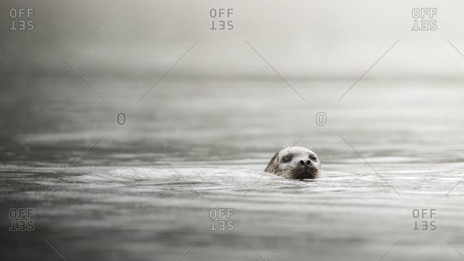 Harbor seal swimming in inner harbor in Khutzeymateen Inlet, Northern British Columbia, Canada