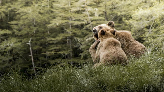 Brown bear mother and child in Khutzeymateen Inlet, Northern British Columbia, Canada.