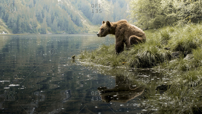 Brown bear standing by lake in Khutzeymateen Inlet, Northern British Columbia, Canada.