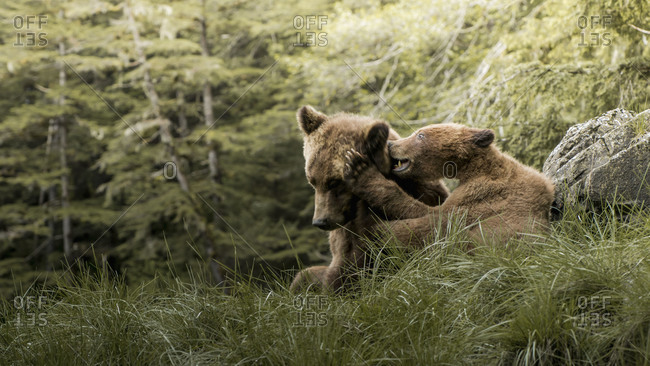 Brown bear mother and child playing in Khutzeymateen Inlet, Northern British Columbia, Canada.
