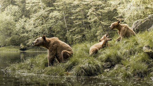 Brown bear family playing in Khutzeymateen Inlet, Northern British Columbia, Canada.