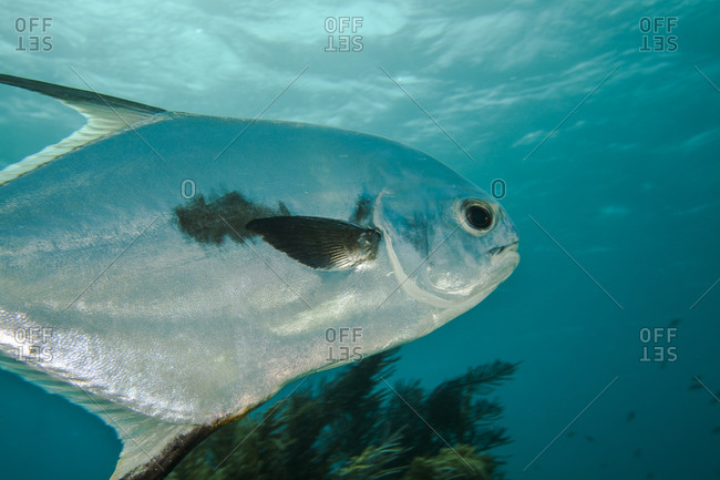 A Permit fish swims in the ocean