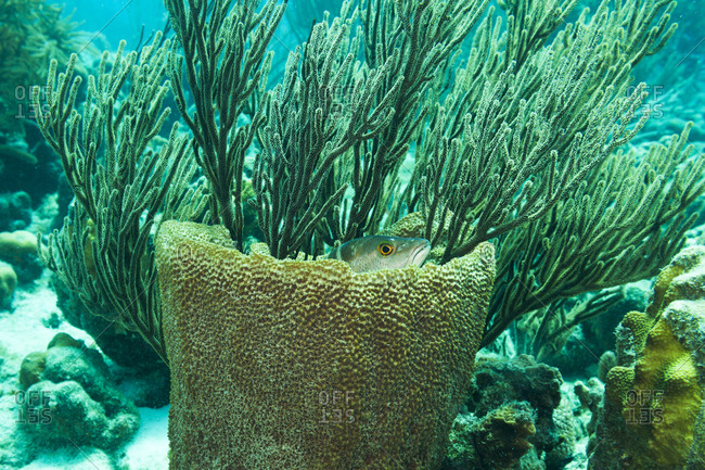 A Dog Snapper fish hides among basket sponge