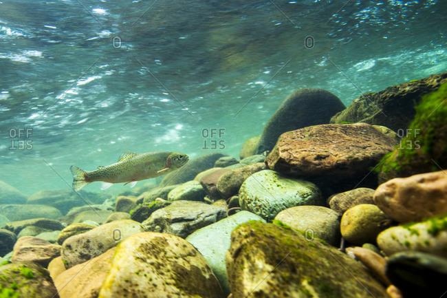 A trout swims near rocks