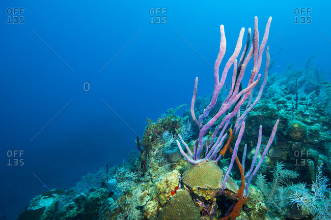 Coral reef in the Caribbean