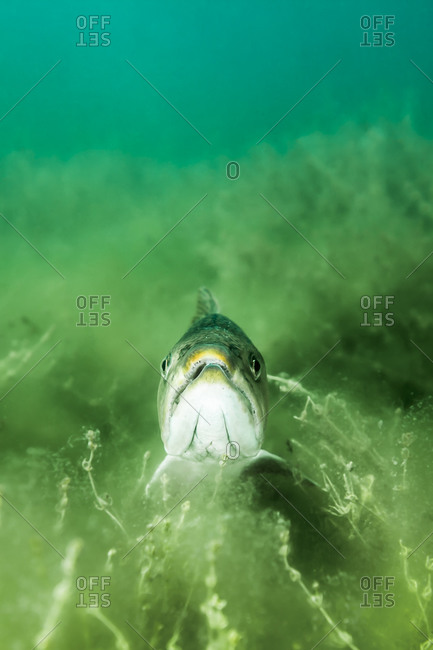 A lake trout swimming