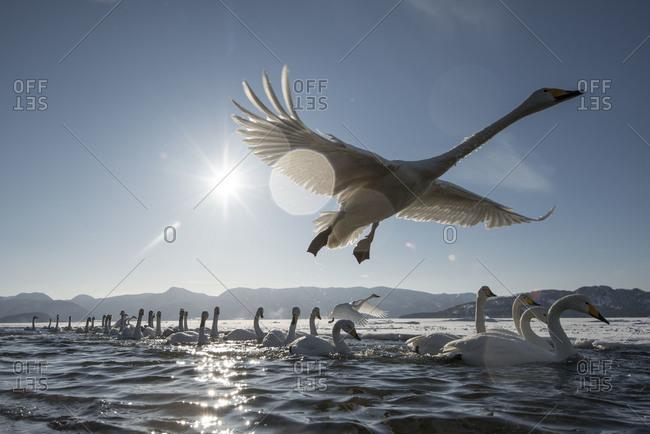Whooper Swans, Hokkaido, Japan Whooper Swan flying in island Hokkaido, Japan.