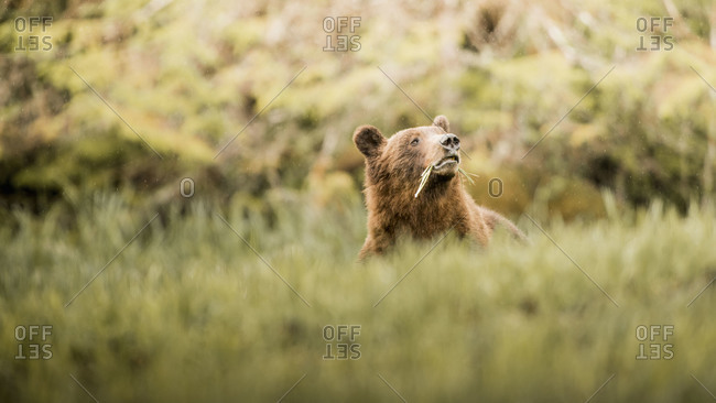 Grizzly bear feeding in the grass of Khutzeymateen Inlet, Northern British Columbia, Canada